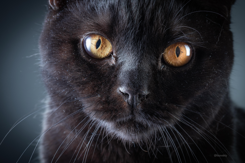 Домашний кот. Британец