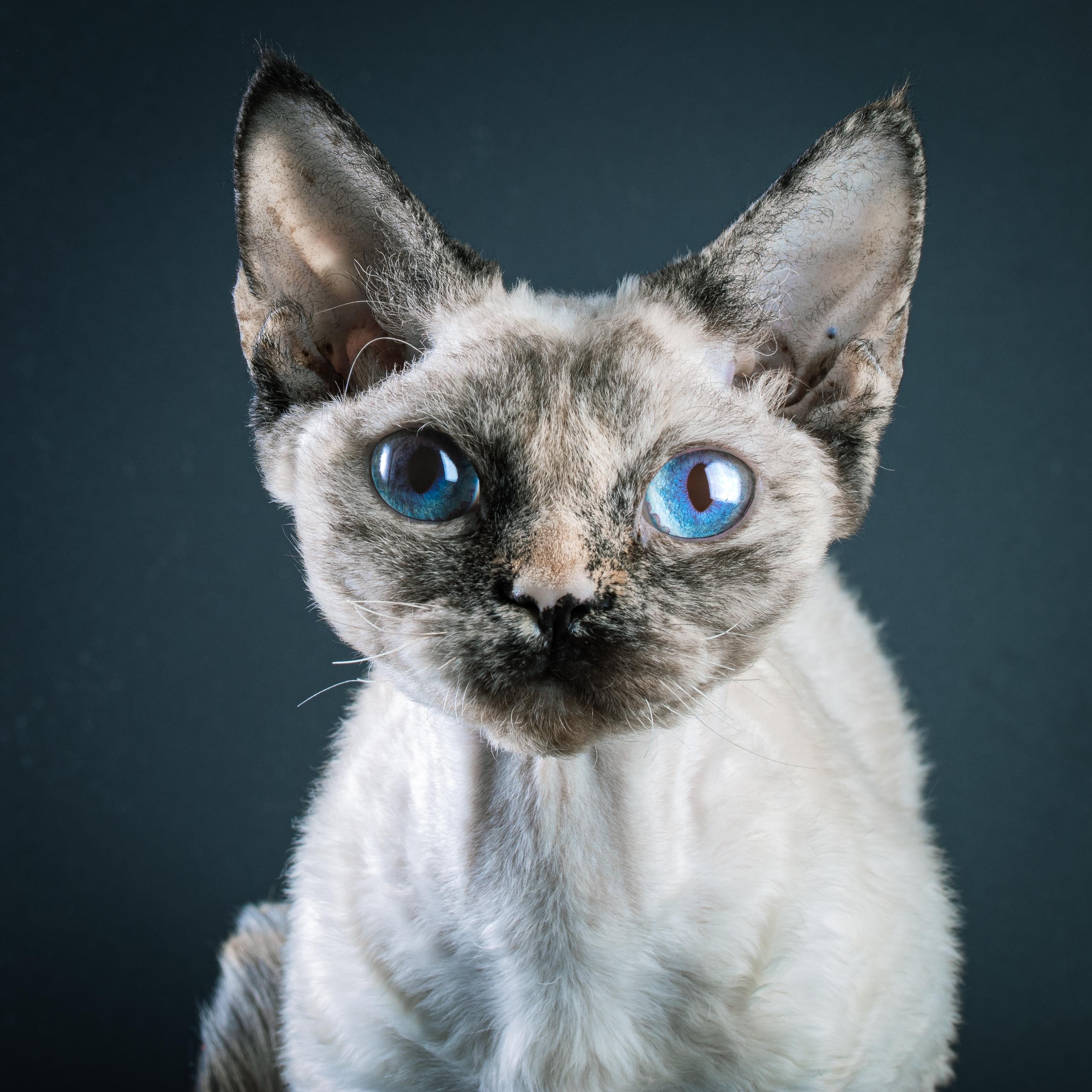 Домашняя кошка. Девон-рекс. Портрет