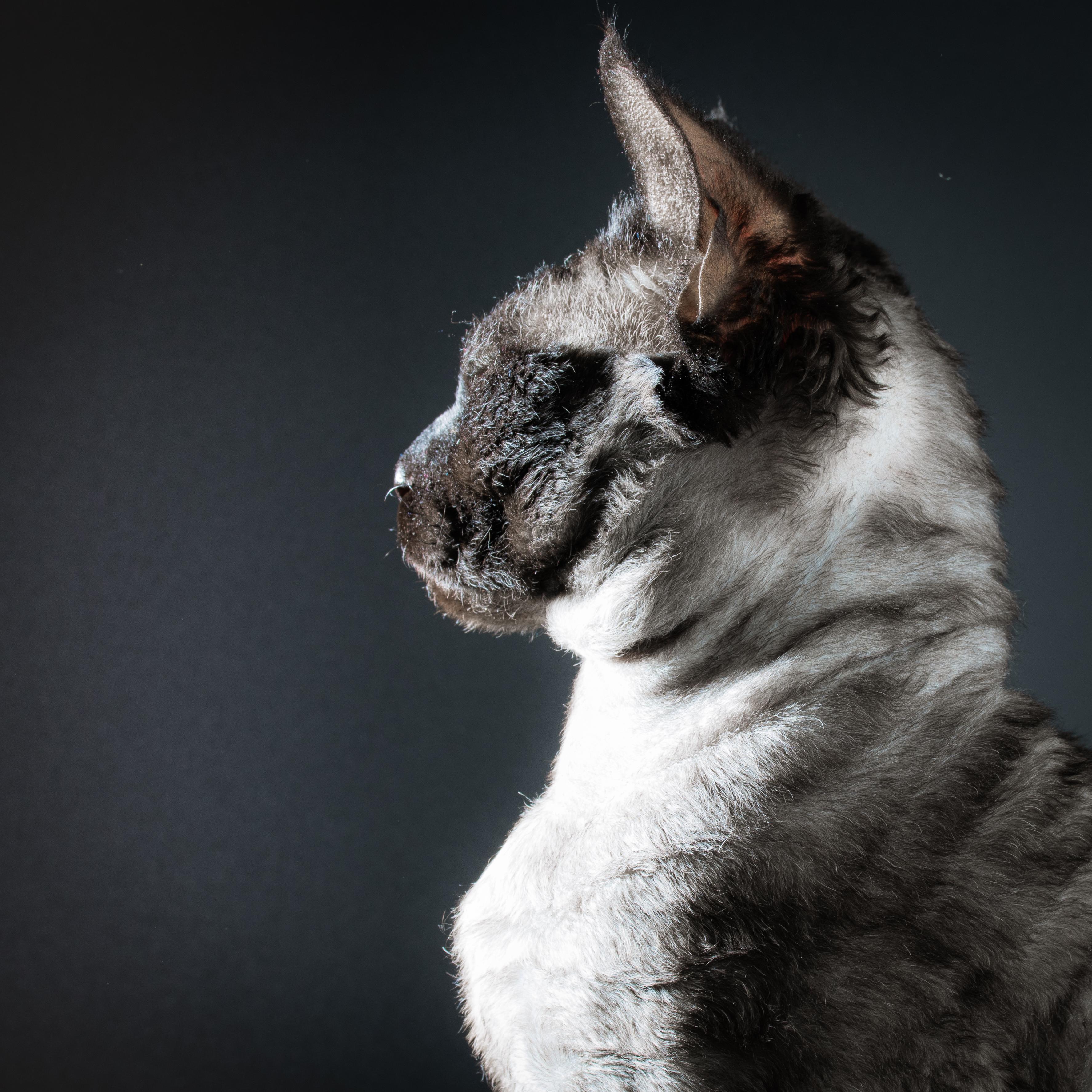 Домашний кот. Девон-рекс. Портрет
